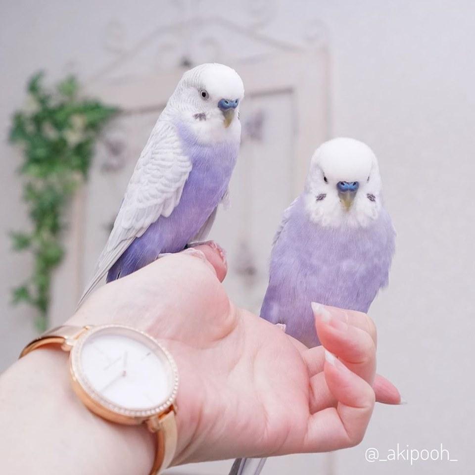 是芋头味的鹦鹉!像是仙境飞来的「梦幻香芋紫」 还会歪头看主人:我可爱吗?