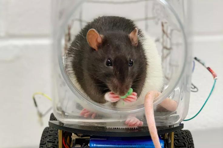 科学家训练老鼠「开车转弯」全学会 网傻眼看智商:再下去能考驾照