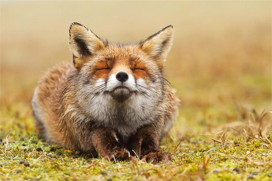 卧底好久终于拍到! 摄影师记录「狐狸自己玩得很开心」:表情是国宝❤