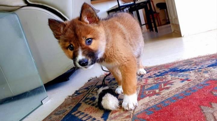 女子好心收养「从天而降」的小狗 一验DNA竟被告知:是珍稀的纯种野生动物