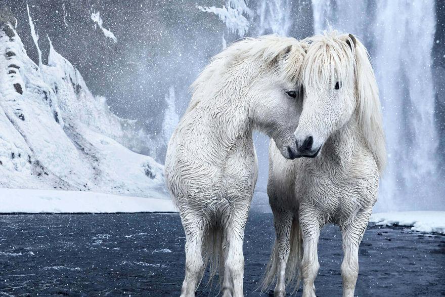 好像在冰雪奇缘!世界最梦幻物种「冰岛马」 纯白身躯「与雪融在一体」超不真实