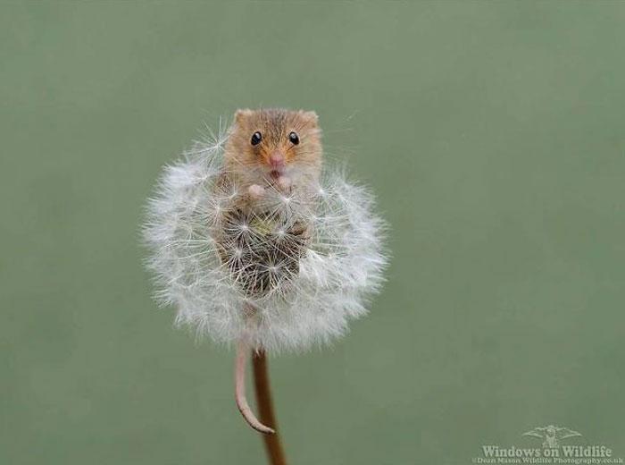 迷你到比蒲公英还小! 童话感满满「巢鼠」还会探头微笑招呼:你好